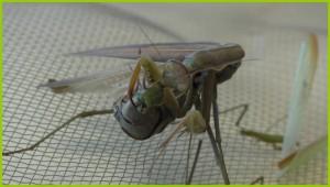 La femelle mange le mâle (4)