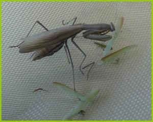 La femelle mange le mâle (5)