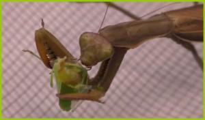 La femelle mange une punaise